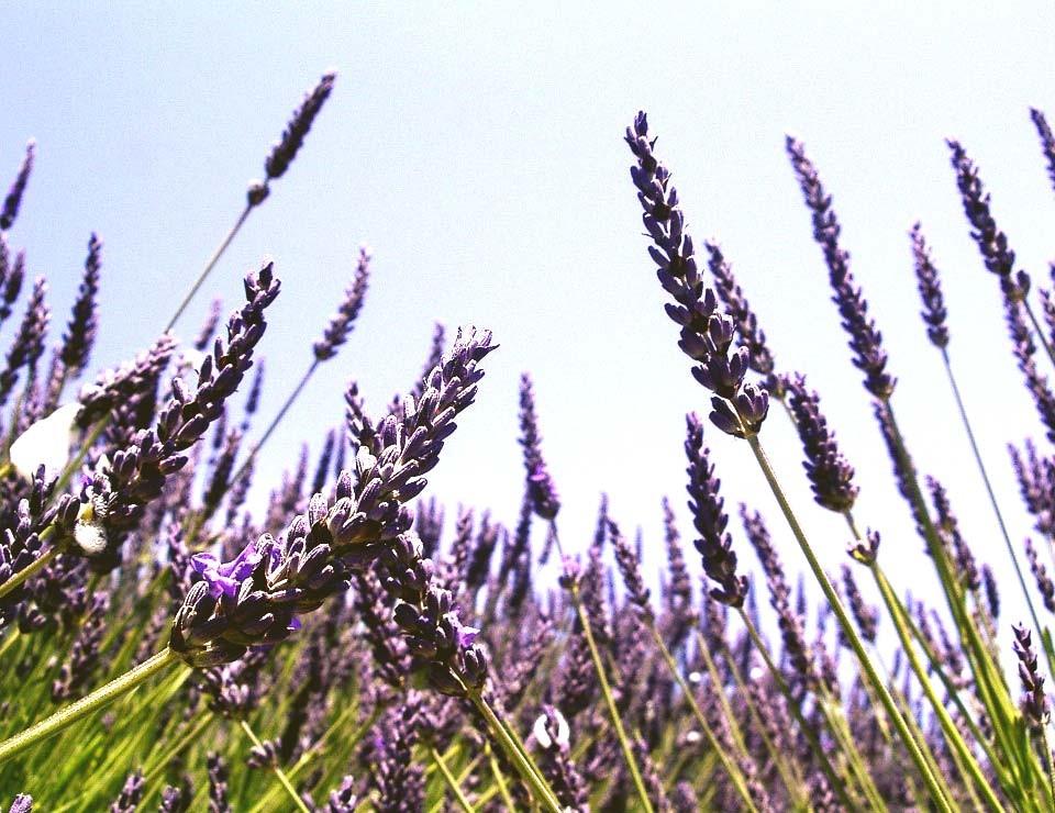 Lavendel-planten_groengeert_23032015